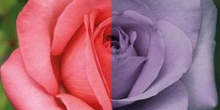 как видят дальтоники розу